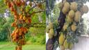 ব্রাহ্মণবাড়িয়ার বিজয়নগরে কাঁঠালের বাম্পার ফলন