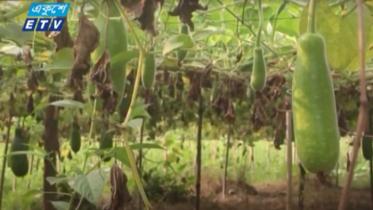মুন্সীগঞ্জে এবার সবজির বাম্পার ফলন (ভিডিও)