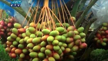 রামপালে সৌদি খেজুর চাষে সাফল্য (ভিডিও)