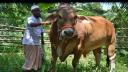 ৯০০ কেজি ওজনের 'রাজা'র দাম ১৫ লাখ টাকা