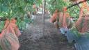 লালতীরের হাইব্রিড হলুদ তরমুজ ল্যন ফাই চাষে সফলতা