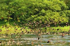 অতিথি পাখির কলরবে মুখর জাবি ক্যাম্পাস