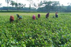 মুগডালে নতুন স্বপ্ন দেখছেন ভোলার কৃষকরা